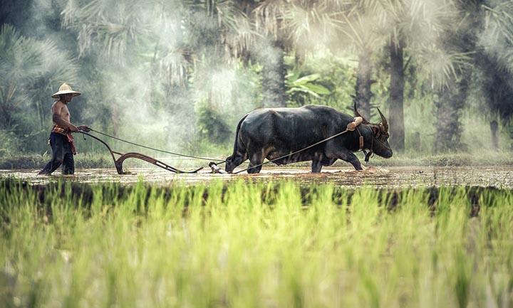 Интересные факты о буйволах