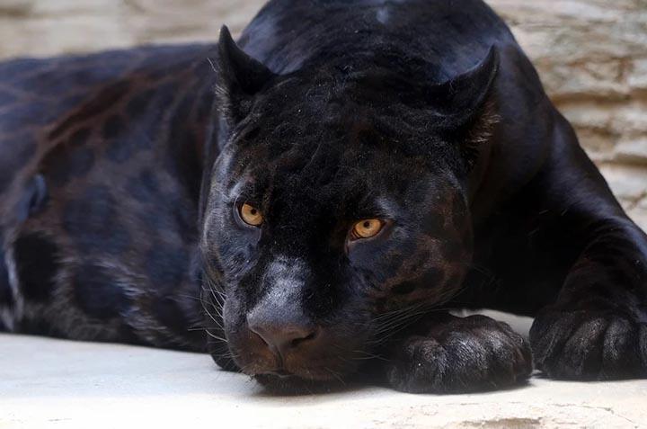 Интересные факты о чёрных пантерах
