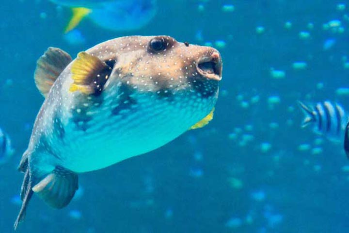Интересные факты о рыбе фугу