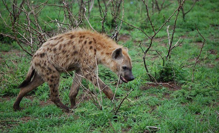 Интересные факты о гиенах