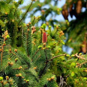 Голосеменные растения