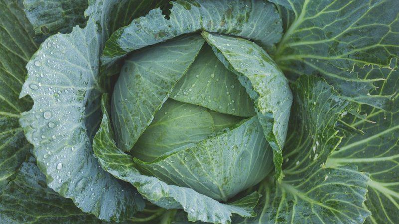 Интересные факты о капусте