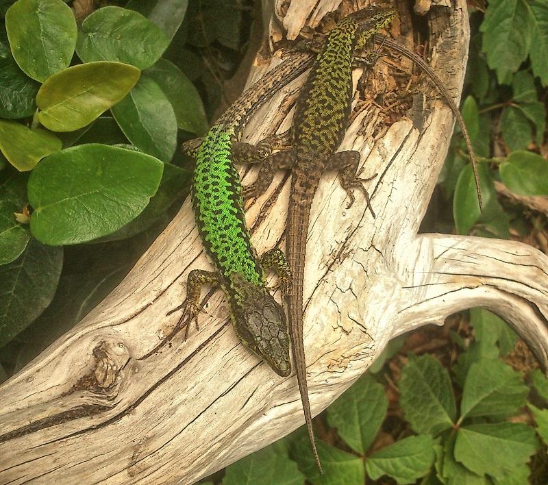 Интересные факты о кавказской ящерице