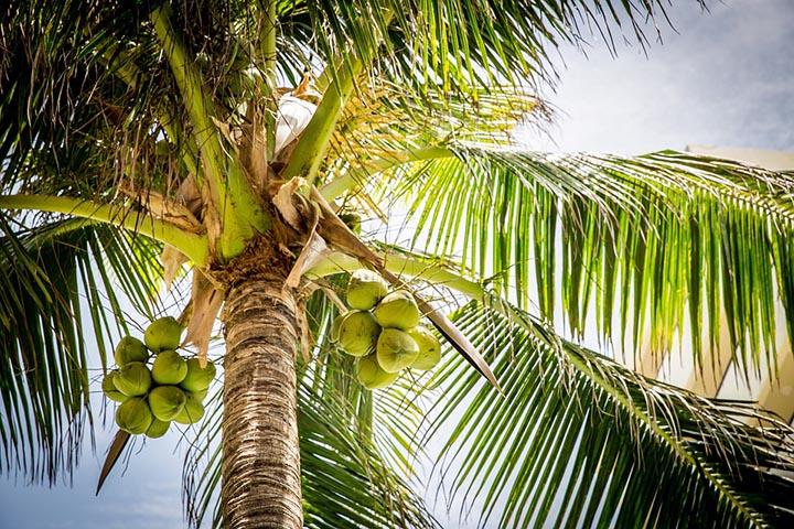 Интересные факты о кокосах