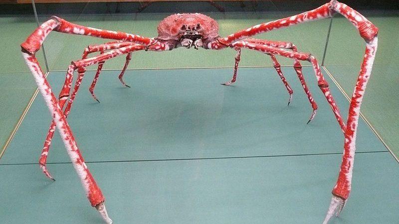 Интересные факты о японском крабе-пауке