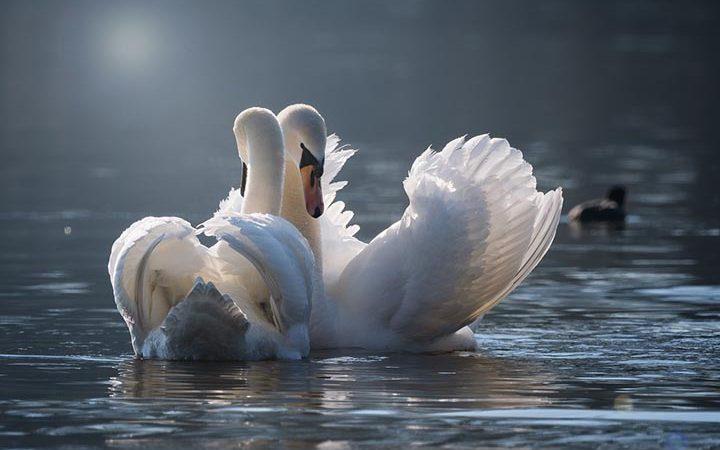 Интересные факты о лебедях