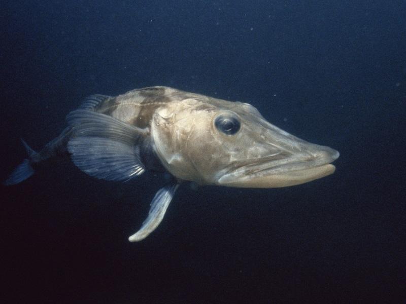 Интересные факты о ледяной рыбе