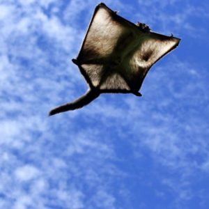 Белка-летяга