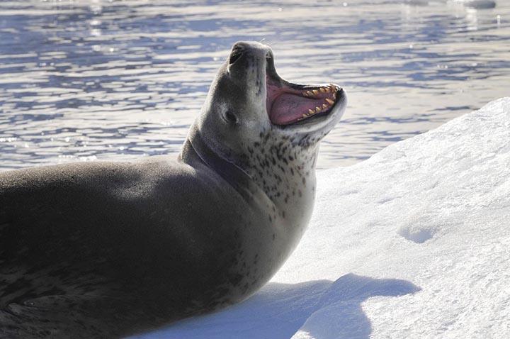 Интересные факты о морских леопардах