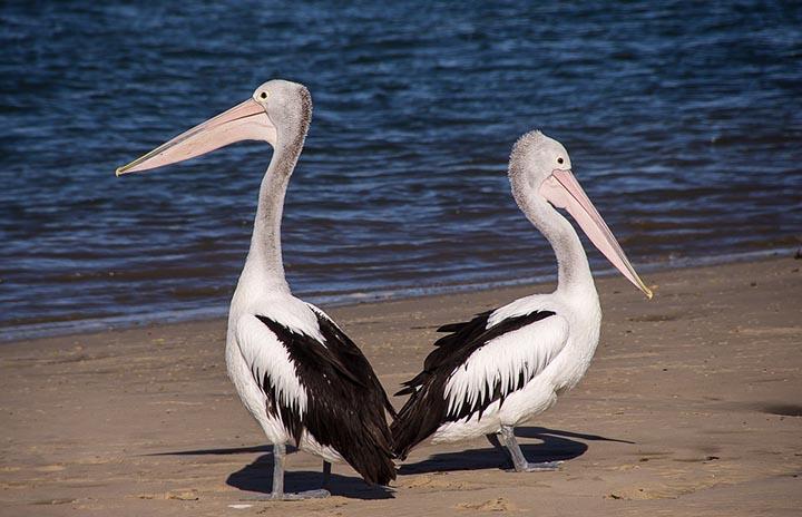 Интересные факты о пеликанах