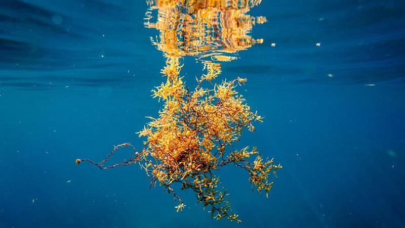 Интересные факты о Саргассовом море