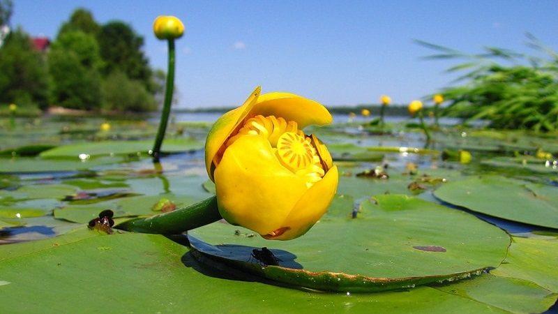 Интересные факты о жёлтой кубышке