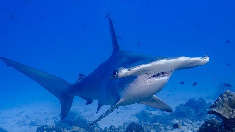 Интересные факты об акуле-молоте