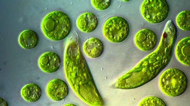 Интересные факты об эвглене зелёной