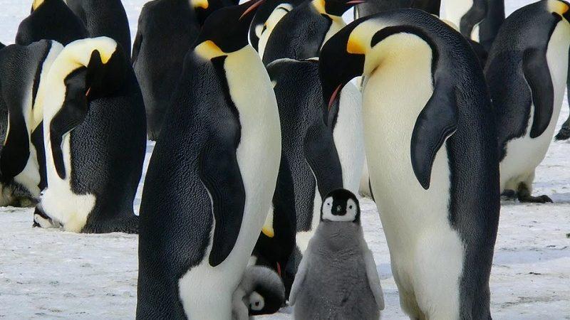 Интересные факты об императорском пингвине