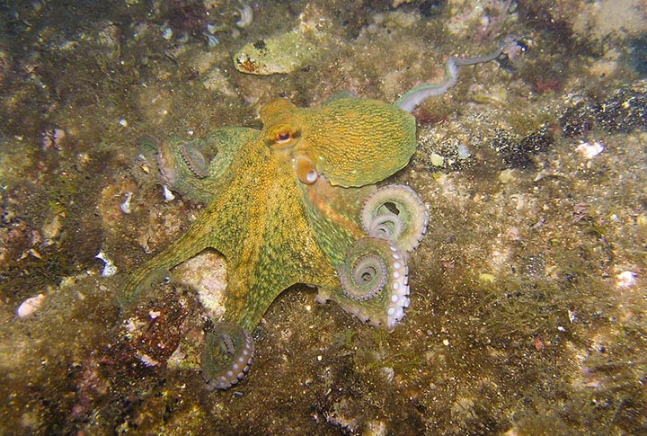 Интересные факты об осьминогах